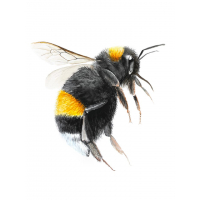 Illustration Hummel